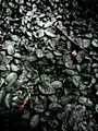 Bed of frosty leaves.JPG