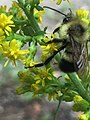 Bee on Solidago in Grand Beach Provincial Park.jpg