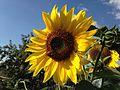 Bee on the sunflower.JPG