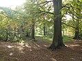 Beech wood - geograph.org.uk - 603975.jpg