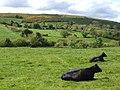 Beef pasture below Mullaghane - geograph.org.uk - 433526.jpg