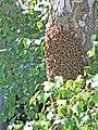 Bees cluster 2.jpg