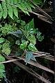 Begonia maurandiae (Begoniaceae) (30120279525).jpg