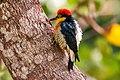 Benedito-de-testa-amarela (Melanerpes flavifrons) - Yellow-fronted Woodpecker.jpg