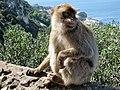 Berberaffen Gibraltar 10.jpg