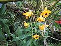 Berne botanic garden Dendrobium fimbriatum.jpg