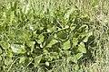 Beta vulgaris subsp. maritima en baie de Saint Brieuc.jpg