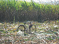 Bicycle & Sugar cane in Mauritius.jpg