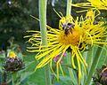 Bienen auf Blüte 2011.jpg