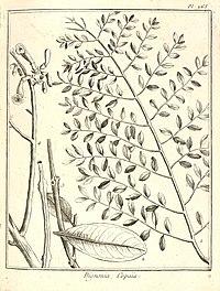 Bignonia copaia Aublet 1775 pl 265.jpg