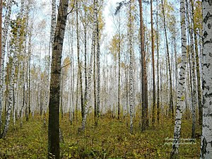 Birch forest, Nizhnetavdinsky District.jpg
