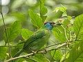 Bird Blue throated barbet 01.jpg
