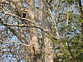 Bird Great Hornbill Buceros bicornis at nest DSCN9018 18.jpg