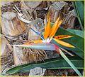 Bird of Paradise 2-16-14 (12593824964).jpg