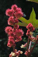 Blüte von Wunderbaum (Ricinus communis).jpg