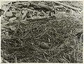 Black-Backed Gull's Nest.jpg