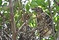 Black-crowned Night-Heron young (48432084791).jpg