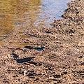 Black-fronted dotterel Burke River Boulia Queensland P1030167.jpg