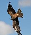 Black Kite 10a (6022396567).jpg