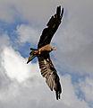 Black Kite 5a (6022958910).jpg