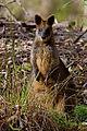 Black Wallaby (Wallabia bicolor) (9370897542).jpg