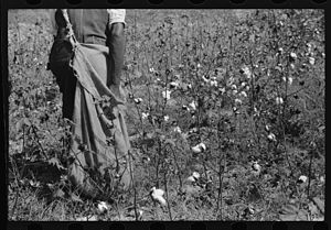 African-American history of agriculture in the United States - Black female sharecropper picking cotton (1939).
