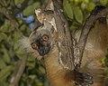 Black lemur (Eulemur macaco) female 3.jpg