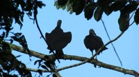 File:Black vulture (Coragyps atratus) buddies in Panama.webm