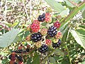 Blackberry fruits11.jpg