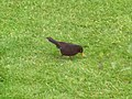 Blackbird - geograph.org.uk - 444993.jpg