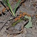 Blanchard's cricket frog (Acris blanchardi), Montgomery Co. TX (April 2014).jpg