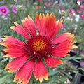 Blanketflower - Gaillardia aristata IMG 6058.jpg