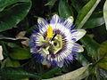 Blauwe passiebloem P. caerulea.jpg