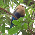 Blue-bellied Roller Coracias cyanogaster Full Body 1850px.jpg