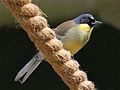 Blue-crowned Laughingthrush RWD2.jpg