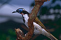 Blue-faced Honeyeater (Entomyzon cyanotis) (9757606023).jpg