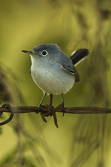 Blue-gray Gnatcatcher - Cuba S4E0108 (19293820712).jpg