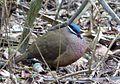 Blue-headed Quail-dove Starnoenas cyanocephala - Flickr - gailhampshire (2).jpg