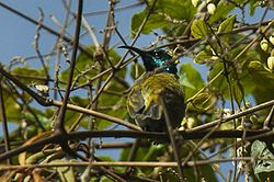Blue-headed sunbird.jpg