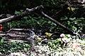 Blue-winged Warbler (bathing) Boy Scout Woods High Island TX 2018-04-11 12-51-43 (40901494255).jpg