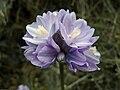 Blue Dick (Dichelostemma capitatum) flower found on the 09 April 2009 Coon Creek Hike.jpg