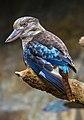 Blue Winged Kookaburra-1 (11337227556).jpg
