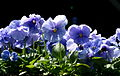 Blue pansies.jpg