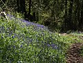 Bluebells in Woodcock Wood (2) - geograph.org.uk - 1292367.jpg
