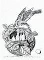 Bolton - Zonotrichia albicollis.png