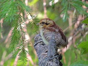 Hazel grouse - Hazel Grouse chick