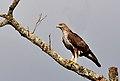 Bonelli's Eagle.jpg
