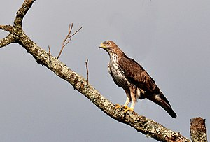 Bonelli's eagle - Perched on a tree near a wetland in Biligiri Rangaswamy Temple Tiger Reserve