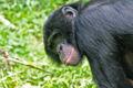 Bonobo 9036.jpg