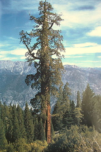 Converse Basin - The Boole tree, sixth-largest tree in the world